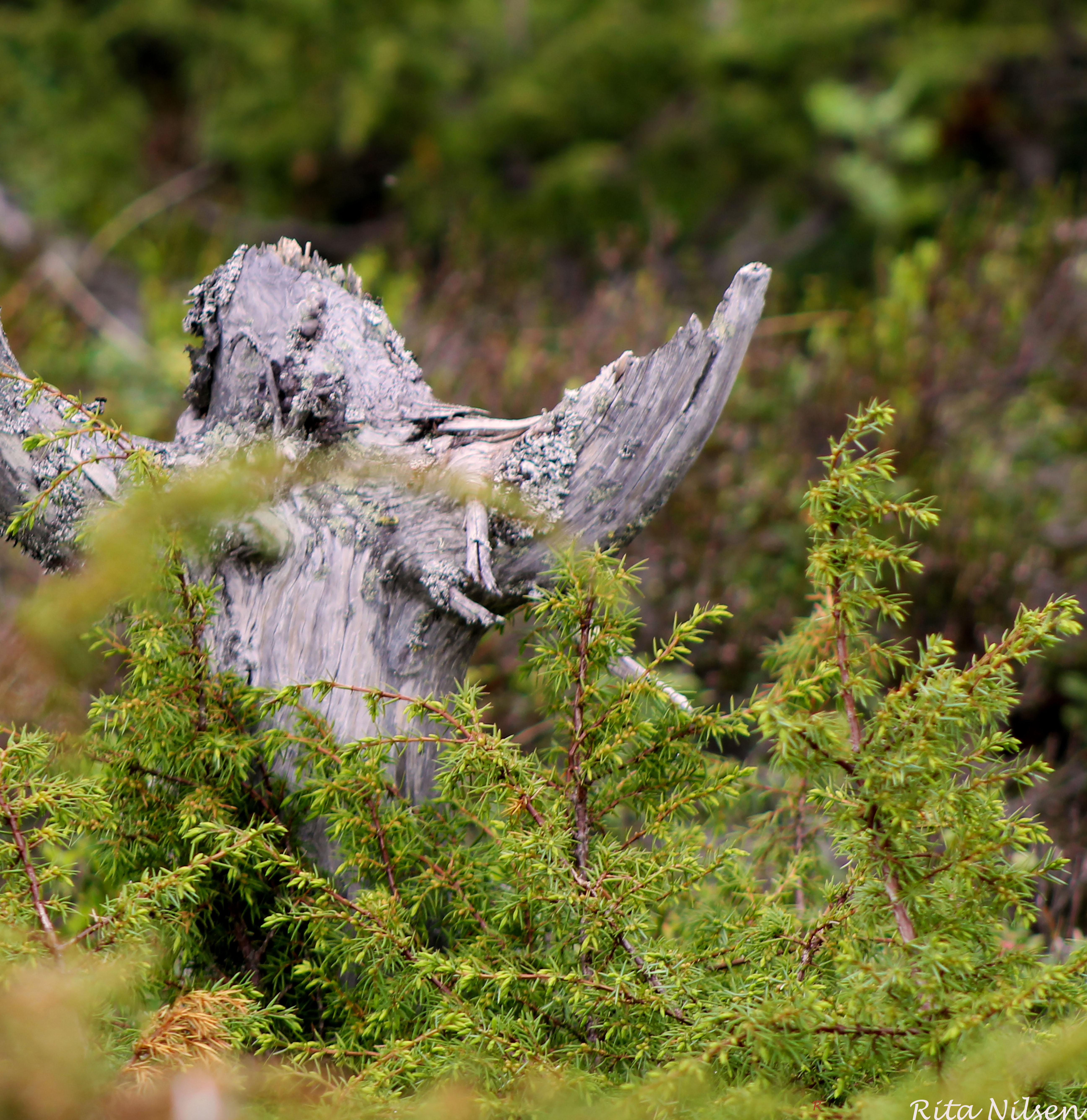 Engel i skogen