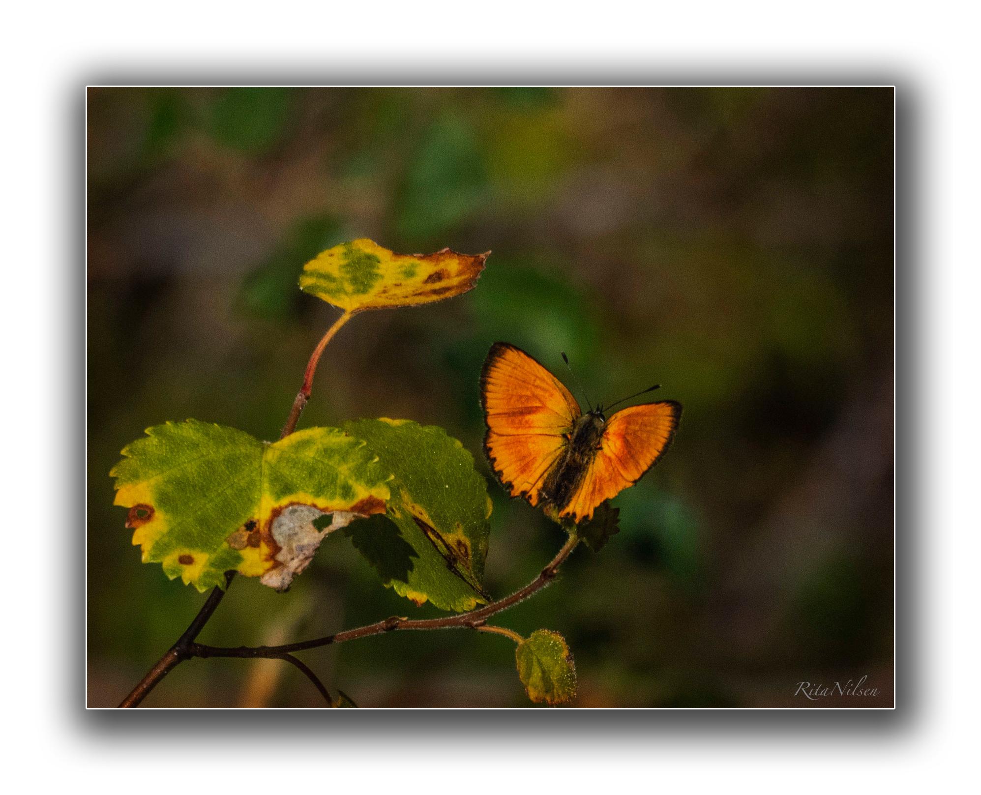 Orange sommerfugl