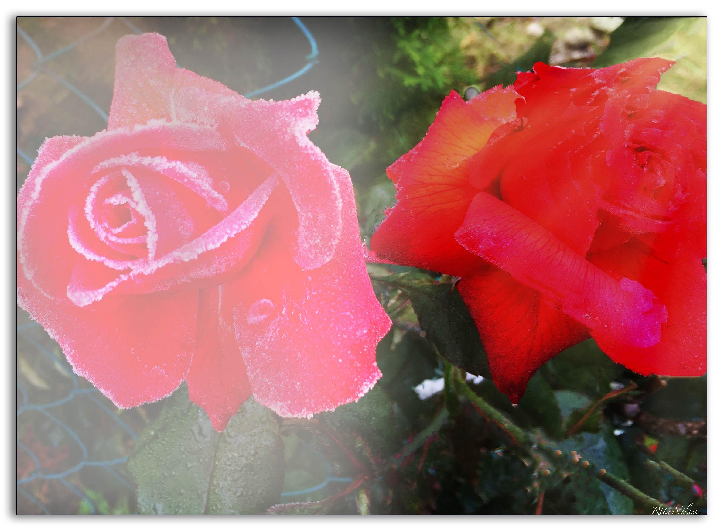 Roser i fangenskap og frihet